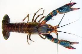 Redclaw crayfish photo